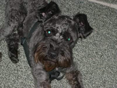 Groomed Schnoodle
